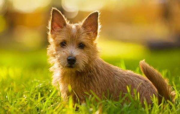 Норвич-терьер-собака-Описание-особенности-виды-уход-и-цена-породы-1