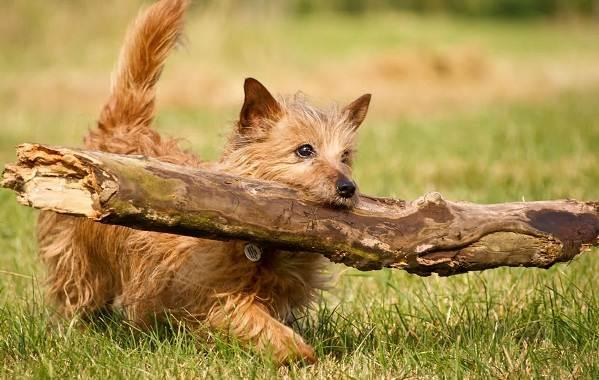 Норвич-терьер-собака-Описание-особенности-виды-уход-и-цена-породы-10