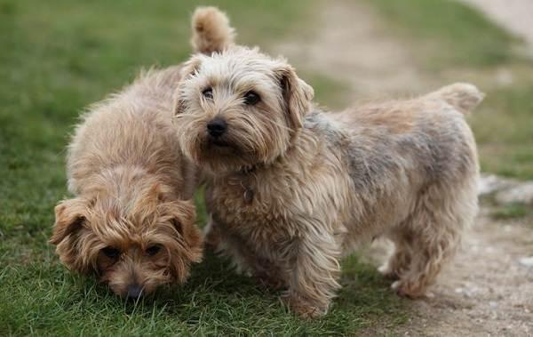 Норвич-терьер-собака-Описание-особенности-виды-уход-и-цена-породы-11