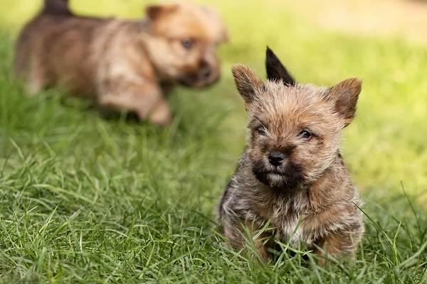 Норвич-терьер-собака-Описание-особенности-виды-уход-и-цена-породы-12