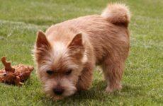 Норвич терьер собака. Описание, особенности, виды, уход и цена породы
