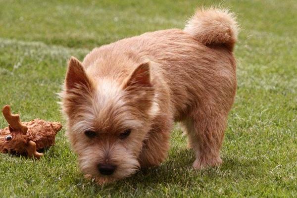 Норвич-терьер-собака-Описание-особенности-виды-уход-и-цена-породы-13
