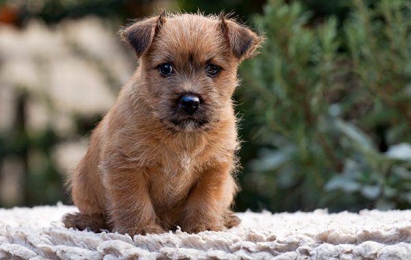 Норвич-терьер-собака-Описание-особенности-виды-уход-и-цена-породы-14