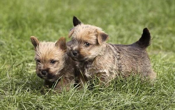 Норвич-терьер-собака-Описание-особенности-виды-уход-и-цена-породы-15