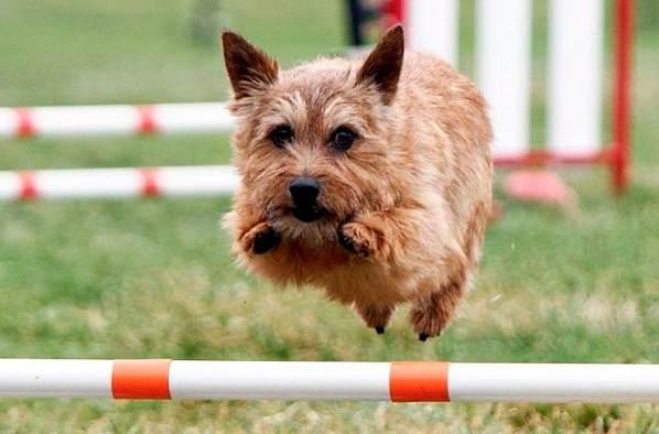 Норвич-терьер-собака-Описание-особенности-виды-уход-и-цена-породы-3