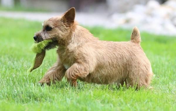 Норвич-терьер-собака-Описание-особенности-виды-уход-и-цена-породы-4