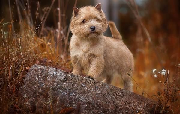 Норвич-терьер-собака-Описание-особенности-виды-уход-и-цена-породы-7