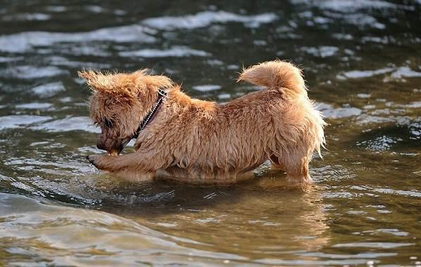 Норвич-терьер-собака-Описание-особенности-виды-уход-и-цена-породы-8