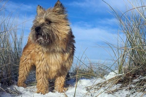Норвич-терьер-собака-Описание-особенности-виды-уход-и-цена-породы-9