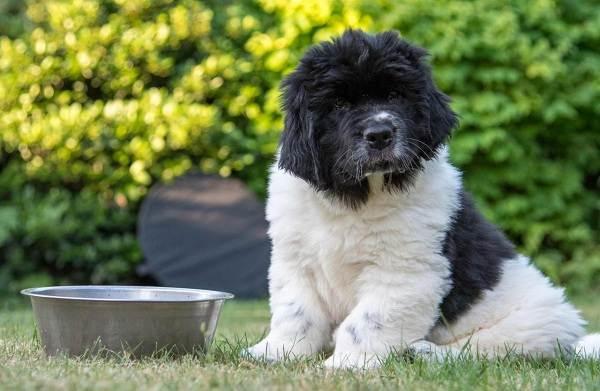 Ньюфаундленд-собака-Описание-особенности-виды-уход-и-цена-породы-12