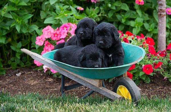 Ньюфаундленд-собака-Описание-особенности-виды-уход-и-цена-породы-13