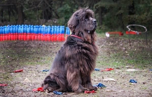 Ньюфаундленд-собака-Описание-особенности-виды-уход-и-цена-породы-14
