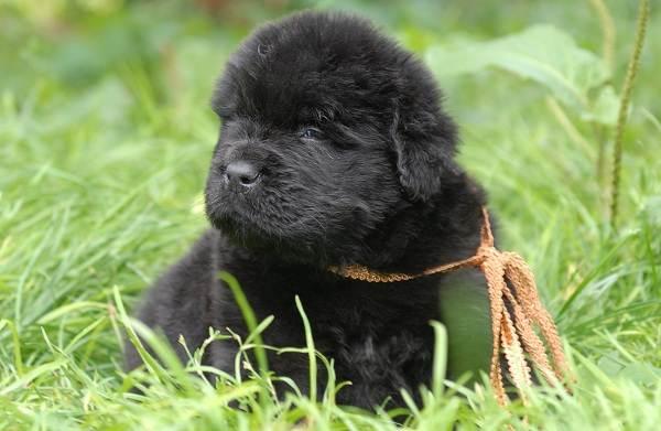 Ньюфаундленд-собака-Описание-особенности-виды-уход-и-цена-породы-15