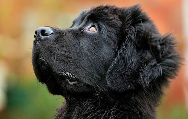 Ньюфаундленд-собака-Описание-особенности-виды-уход-и-цена-породы-16