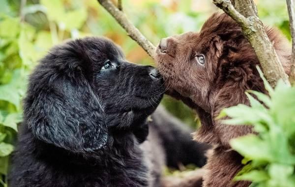 Ньюфаундленд-собака-Описание-особенности-виды-уход-и-цена-породы-2