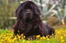 Ньюфаундленд собака. Описание, особенности, виды, уход и цена породы