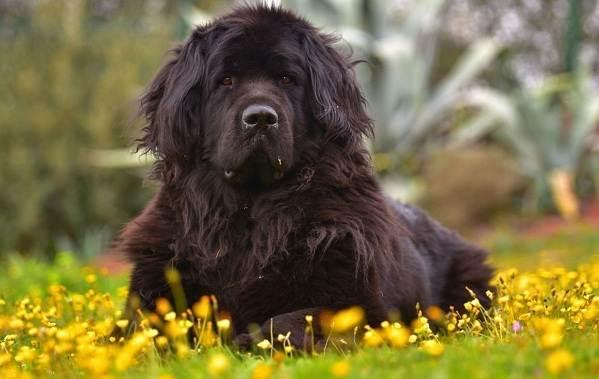 Ньюфаундленд-собака-Описание-особенности-виды-уход-и-цена-породы-3