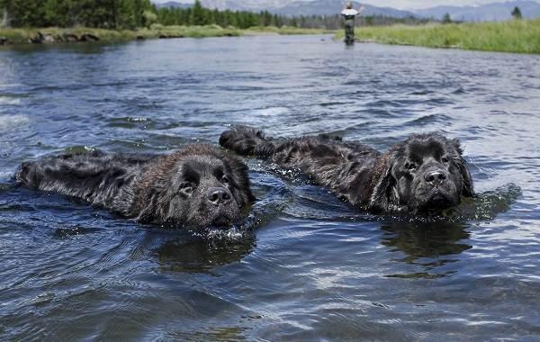 Ньюфаундленд-собака-Описание-особенности-виды-уход-и-цена-породы-5