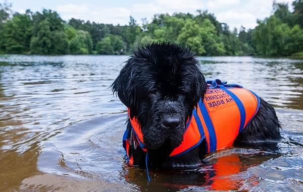 Ньюфаундленд-собака-Описание-особенности-виды-уход-и-цена-породы-6