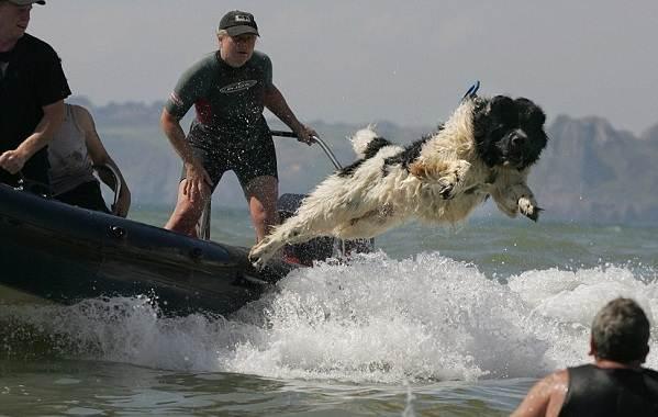Ньюфаундленд-собака-Описание-особенности-виды-уход-и-цена-породы-7