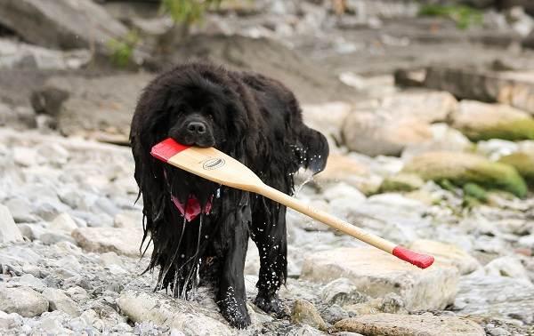 Ньюфаундленд-собака-Описание-особенности-виды-уход-и-цена-породы-9