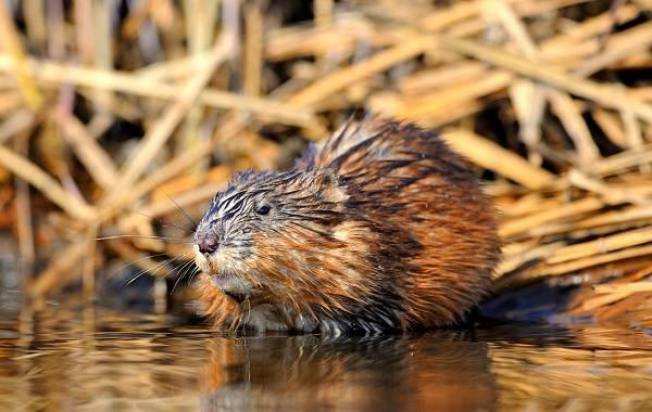 Ондатра-животное-Описание-особенности-виды-образ-жизни-и-среда-обитания-ондатры-1