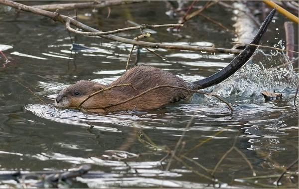Ондатра-животное-Описание-особенности-виды-образ-жизни-и-среда-обитания-ондатры-10
