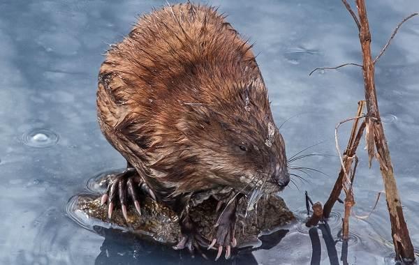 Ондатра-животное-Описание-особенности-виды-образ-жизни-и-среда-обитания-ондатры-13