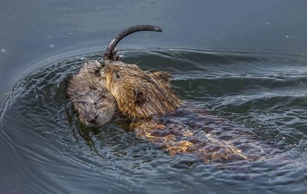 Ондатра-животное-Описание-особенности-виды-образ-жизни-и-среда-обитания-ондатры-15