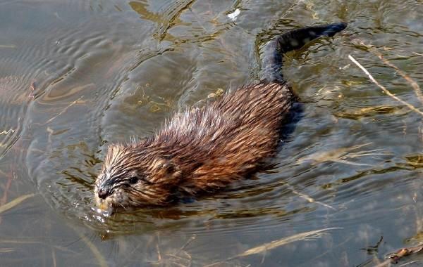 Ондатра-животное-Описание-особенности-виды-образ-жизни-и-среда-обитания-ондатры-3