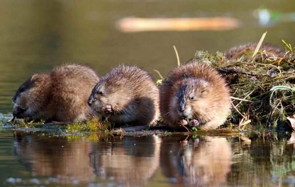 Ондатра-животное-Описание-особенности-виды-образ-жизни-и-среда-обитания-ондатры-4