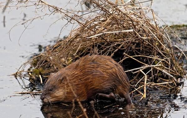 Ондатра-животное-Описание-особенности-виды-образ-жизни-и-среда-обитания-ондатры-9