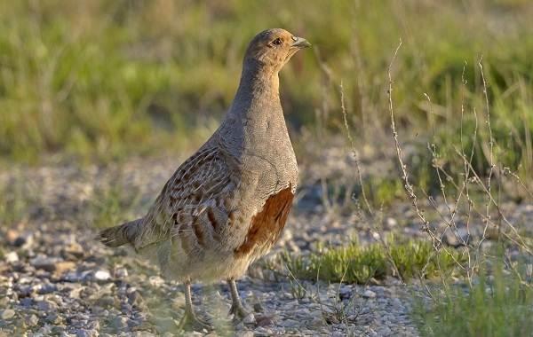 Оседлые-птицы-Описание-названия-виды-и-фото-оседлых-птиц-15