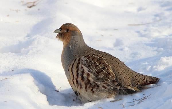Оседлые-птицы-Описание-названия-виды-и-фото-оседлых-птиц-16