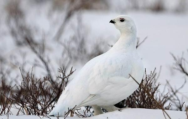 Оседлые-птицы-Описание-названия-виды-и-фото-оседлых-птиц-18
