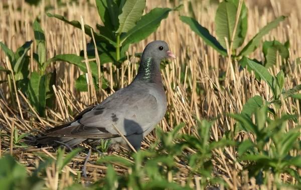 Оседлые-птицы-Описание-названия-виды-и-фото-оседлых-птиц-20