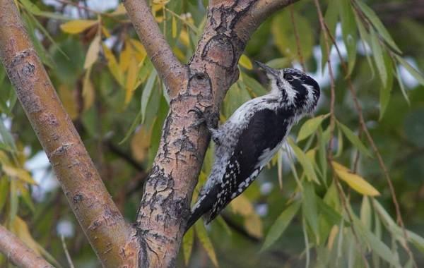 Оседлые-птицы-Описание-названия-виды-и-фото-оседлых-птиц-23