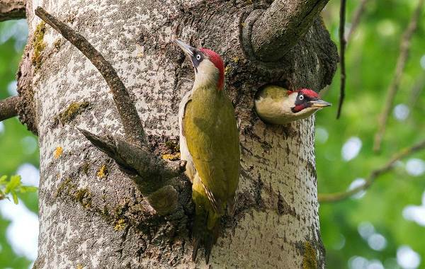 Оседлые-птицы-Описание-названия-виды-и-фото-оседлых-птиц-25