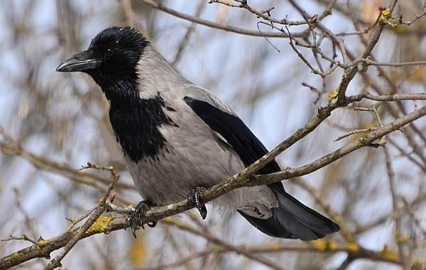 Оседлые-птицы-Описание-названия-виды-и-фото-оседлых-птиц-27