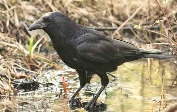 Оседлые-птицы-Описание-названия-виды-и-фото-оседлых-птиц-28