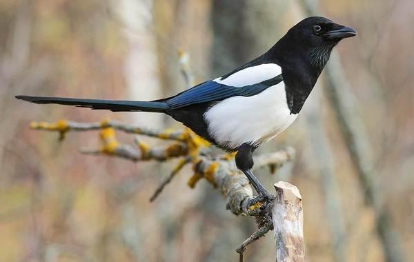 Оседлые-птицы-Описание-названия-виды-и-фото-оседлых-птиц-29