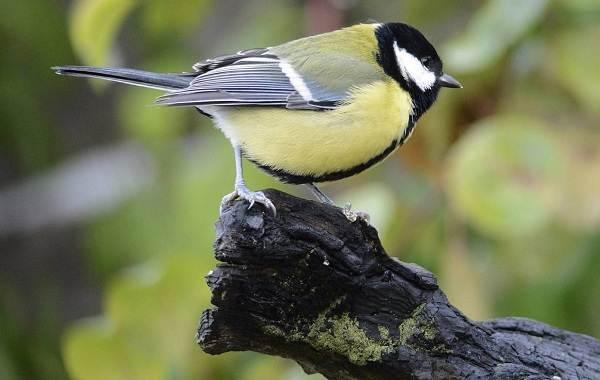 Оседлые-птицы-Описание-названия-виды-и-фото-оседлых-птиц-35