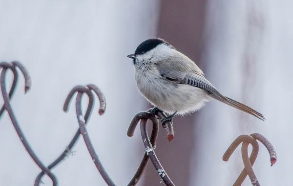 Оседлые-птицы-Описание-названия-виды-и-фото-оседлых-птиц-36