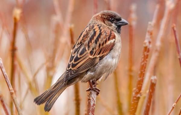 Оседлые-птицы-Описание-названия-виды-и-фото-оседлых-птиц-37