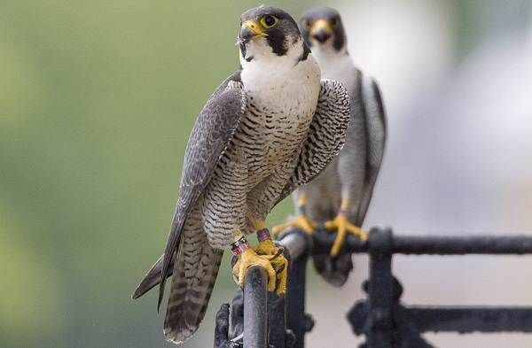 Оседлые-птицы-Описание-названия-виды-и-фото-оседлых-птиц-5