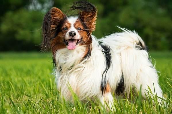 Папильон-собака-Описание-особенности-виды-уход-и-цена-породы-папильон-1