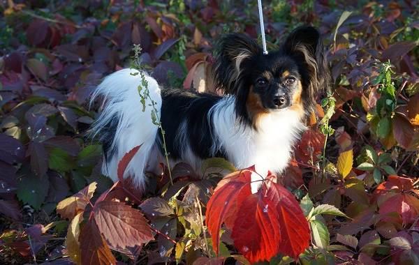 Папильон-собака-Описание-особенности-виды-уход-и-цена-породы-папильон-10