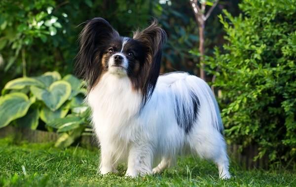 Папильон-собака-Описание-особенности-виды-уход-и-цена-породы-папильон-12