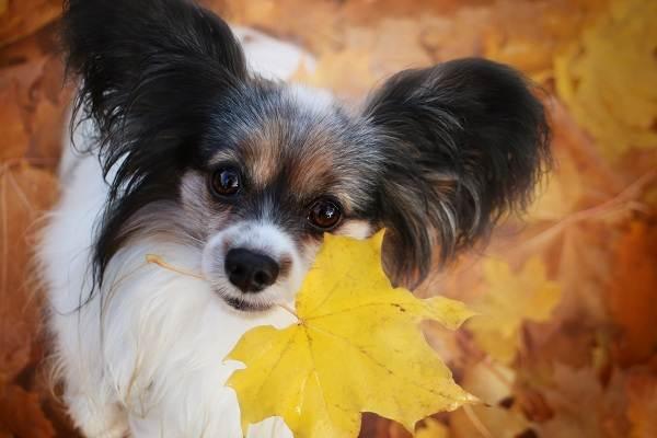 Папильон-собака-Описание-особенности-виды-уход-и-цена-породы-папильон-13