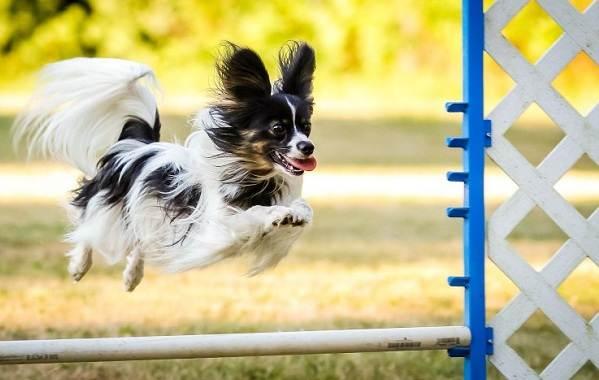 Папильон-собака-Описание-особенности-виды-уход-и-цена-породы-папильон-16